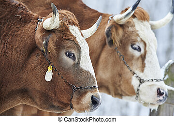 Bulls - A protrait of two powerfull bulls