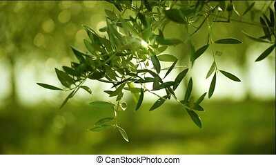 Olive tree leaves - Olive green tree leaves growing in the...