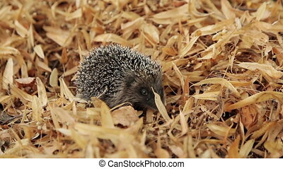 Hedgehog in the Leaves - a hedgehog looking for food on the...