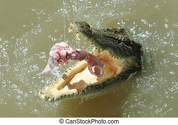 Crocodile - Salt water crocodile gets feeding on the...