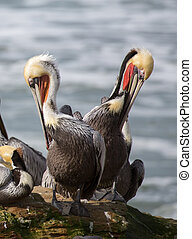 Brown Pelicans perched on Natural Bridges State Beach, Santa...