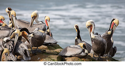 A Pod of Brown Pelicans - Brown Pelicans perched on Natural...