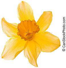 Narcissus Pseudonarcissus Cutout