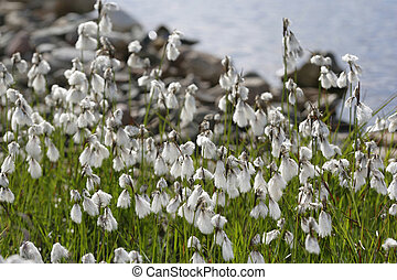 Cotton Grass - Wildflowers, narrow leaved cotton grass...
