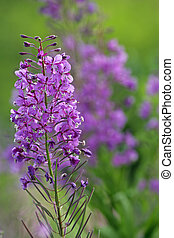 Close- up of Fireweed - Single Stem of flowering Fireweed...