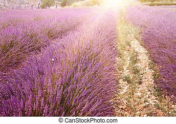 Lavender bushes closeup - Lavender bushes closeup on sunset...