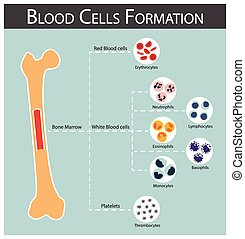 Blood cells Formation bone marrow produce blood cells series...