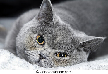 cat British short haired - Portrait cat of breed British...