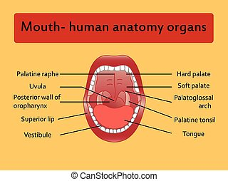 Parts of Human mouth Open mouth and white healthy teeth...