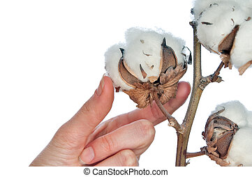 cotton  - a branch of cotton in the woman\'s hand