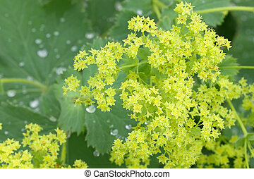 Common Lady's Mantle flowers with morning dews on leaves -...