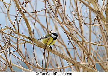 The Great tit bird in yellow and black color on a tree...