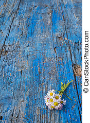 Small bunch of wild daisies on blue wooden background with...