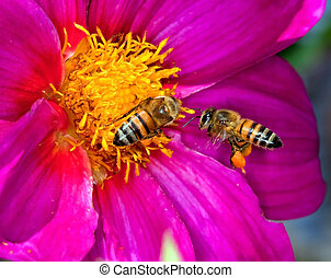 Two bees looking for pollen and nectar on a yellow and...