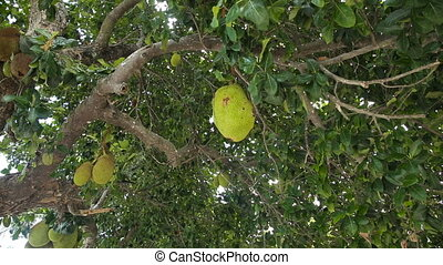 Jackfruit on the tree - tree branch full of jack fruitsClose...