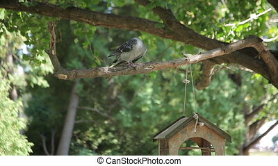 Pigeon and Bird Feeder - Dove sitting on a branch with a...
