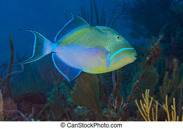 Queen triggerfish {Balistes vetula} swimming over a coral...