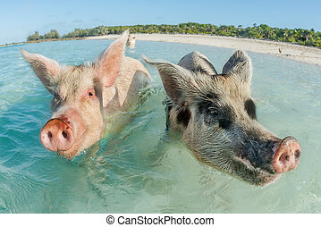 Two pigs swimming in the Bahamas - In Big Major Cay, the...
