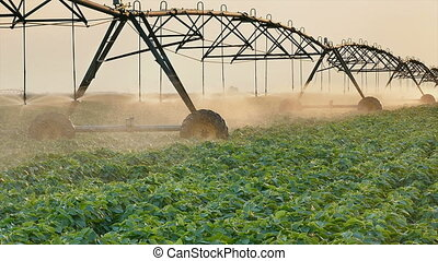 Soybean field watering in sunset - Soy bean field with...