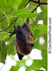 Fruit bat pteropus giganteus hanging on the tree
