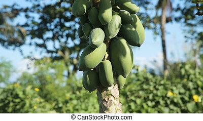 Green papaya on the tree - papaya tree with bunch of...