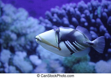 Picasso Triggerfish - fish Picasso Triggerfish close to