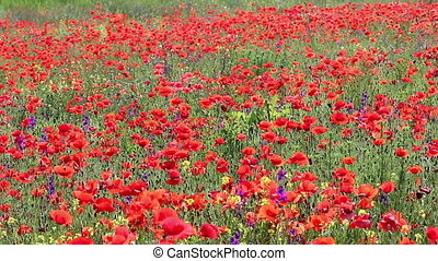 poppies flower field nature