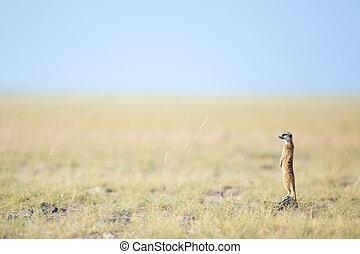 Meerkat,