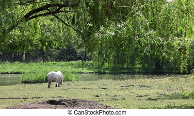 white pony horse on pasture near river