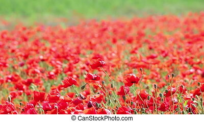 wind blowing on red poppies flower field