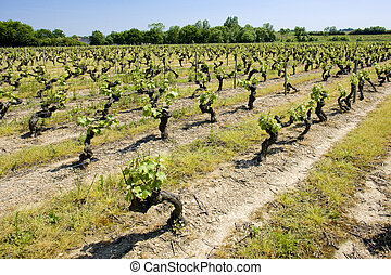 vineyard, Loire Valley, France