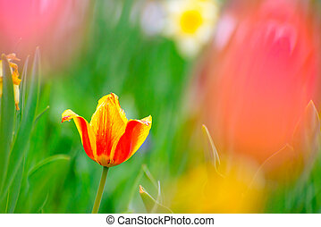 Beautiful Multicolored Tulip Flower in Bright Spring Field