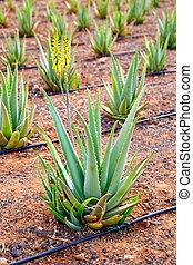 Aloe Vera field at Canary Islands Spain - Aloe Vera field at...