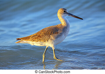 Willet (Tringa semipalmata) standing in shallow water