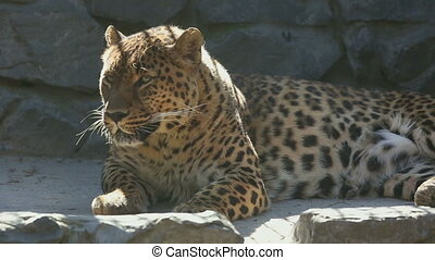 Adult Jaguar resting and looking into the camera - Jaguar...