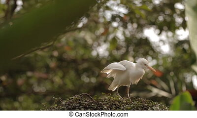 White heron is protecting it's nest and cleaning feathers. Singapore Zoo.