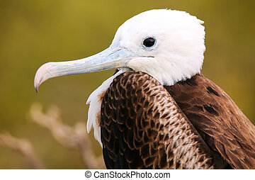 Portrait of Baby Magnificent Frigatebird on North Seymour...