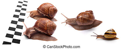 Snails racing - Group of four garden snails racing isolated...