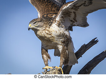 Ferruginous Hawk - Hawk landing in Tucson Arizona