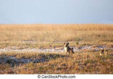 löwe, afrikanisch, savanne