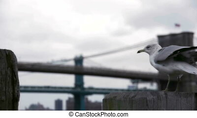 Gull in New York - Gull, Brooklyn Bridge, the birds, sky,...