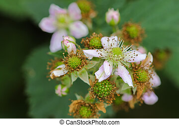 Blackberry fruit flowers with pink shade blossoming in the...