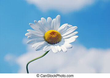marguerite flower with blue sky