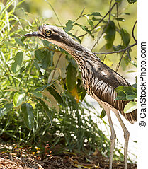 Curlew Bird - The Bush Stone-curlew Burhinus grallarius is...