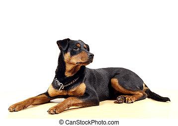 lindo,  Pincher,  Rottweiler