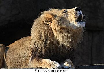 Beautiful male lion - Healthy male lion, roaring
