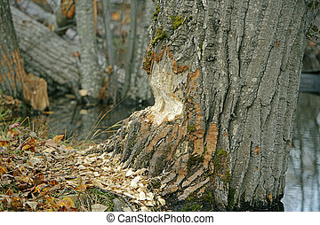 Beaver damage on large poplar tree - Large Poplar Tree...