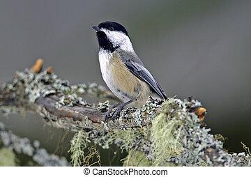 Black capped Chickadee - Black-capped Chickadee perched on...