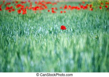 poppy flower in green field spring season