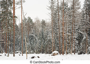 Pine forest in deep snow horizontal